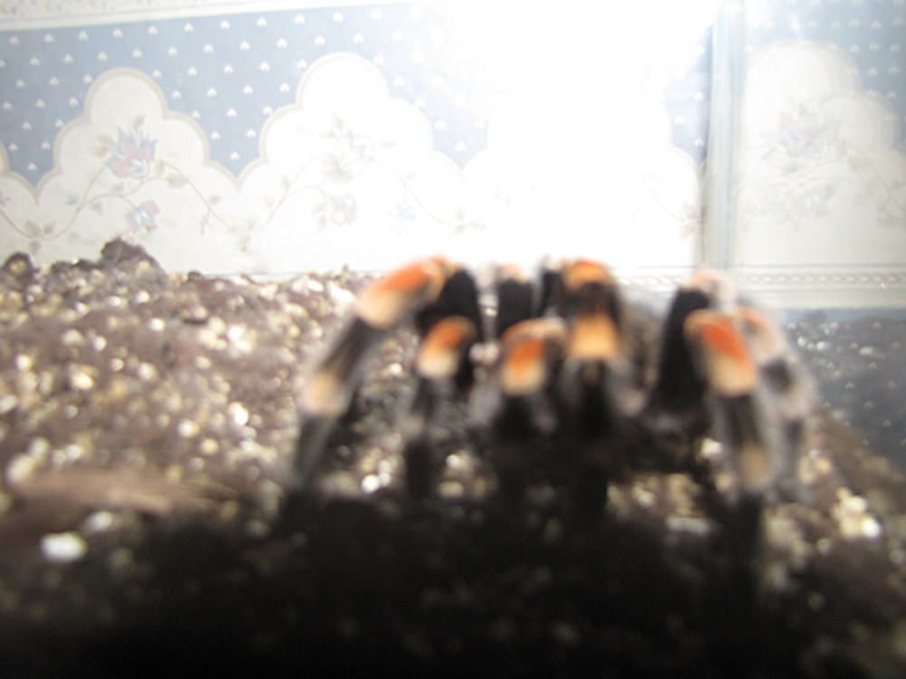 my pet tarantula, Rachel